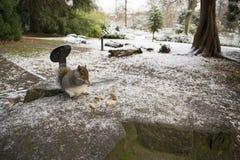 Ekorre Sheffield Botanical Gardens South Yorkshire December 20 Royaltyfria Foton