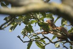 Ekorre som är rinnande högt i ett träd Fotografering för Bildbyråer