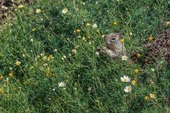 Ekorre som äter blommor i grön vegetation arkivbild