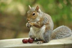 Ekorre som äter druvor Royaltyfri Bild