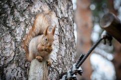 Ekorre som äter en mutter på trädet Royaltyfri Foto
