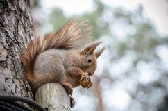Ekorre som äter en mutter på trädet Royaltyfri Bild
