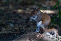 Ekorre som äter mat fotografering för bildbyråer