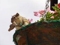 Ekorre som äter muttern i korgen royaltyfri fotografi