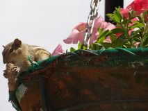 Ekorre som äter muttern i korgen arkivbild