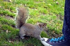 Ekorre som äter muttrar i parkera Fotografering för Bildbyråer