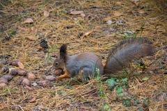 Ekorre som äter muttrar i parkera Arkivfoton