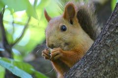 Ekorre som äter muttrar på ett träd royaltyfri bild