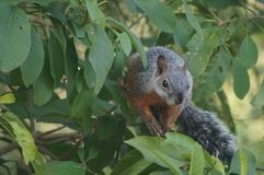 Ekorre som förbereder sig att hoppa från ett träd fotografering för bildbyråer