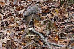 Ekorre som gräver för ekollonar royaltyfri fotografi