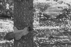Ekorre som hänger på ett träd arkivbild
