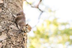 Ekorre som håller fast vid och äter muttrar Fotografering för Bildbyråer