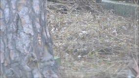Ekorre som hoppar till trädet stock video