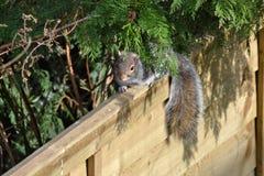 Ekorre som kikar till och med en buske som sitter på ett staket royaltyfri bild