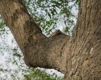 Ekorre som kopplar av på träd Fotografering för Bildbyråer