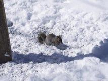 Ekorre som matar på fågelfrö i vinter Royaltyfri Foto