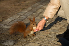 Ekorre som matas från handen av mannen horisontal Royaltyfri Fotografi
