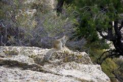Ekorre som ser till kanjonen royaltyfri foto