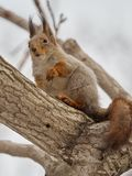 Ekorre som sitter försiktigt på träd arkivbilder