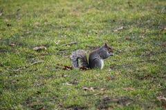 Ekorre som sitter på gräset Fotografering för Bildbyråer