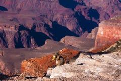 Ekorre som äter Apple i Grand Canyonnationalparken, Arizona, USA Arkivfoto
