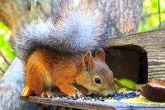 Ekorren är en vanlig härlig rödhårig man som sitter på förlagemataren och äta arkivfoton