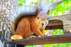 Ekorren är en vanlig härlig rödhårig man som sitter på förlagemataren och äta fotografering för bildbyråer