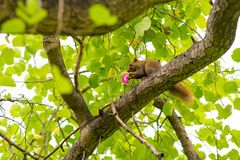 Ekorren äter en rosa blomma - den Bangkok naturen Arkivfoto