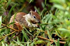 Ekorren äter frö Fotografering för Bildbyråer