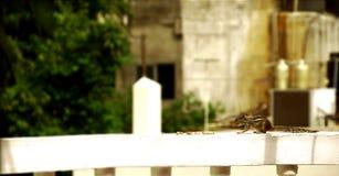 Ekorren äter, gömma sig uppsamlingen maten på en vägg av ett hus som omkring ser Royaltyfria Bilder