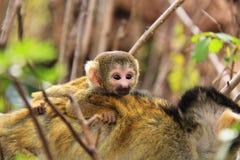 Ekorren behandla som ett barn apan royaltyfri fotografi
