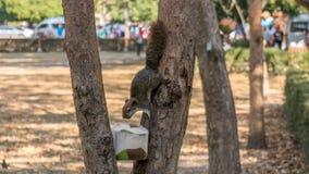 Ekorren dricker från en kokosnöt i ett träd royaltyfria foton