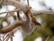 Ekorren klättrar det uppochnervända trädet royaltyfri foto