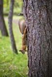 Ekorren på trädet fryste i rörelse arkivbild