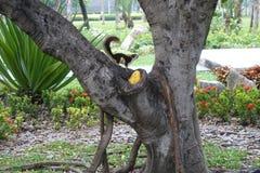 Ekorren som äter mango parkerar offentligt royaltyfria foton