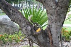 Ekorren som äter mango parkerar offentligt Arkivfoto