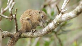 Ekorren som äter muttern på Kinabalu, parkerar, malaysiska Borneo arkivfilmer