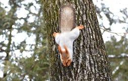 Ekorren stiger ned från ett träd Royaltyfri Foto
