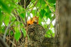 Ekorrerödhårig man på ett träd i sommar Arkivfoto