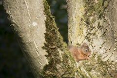 Ekorresammanträde i ett träd som äter Fotografering för Bildbyråer