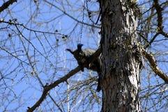 Ekorresammanträde på ett träd Royaltyfri Fotografi