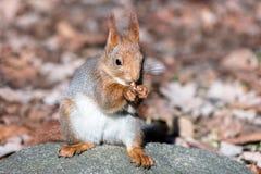 Ekorresammanträde på stenen i höst parkerar och äta muttern på blurr Royaltyfri Foto