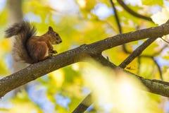 Ekorresammanträdet på filialen av ett träd i parkera eller i skogen i den varma och soliga höstdagen arkivfoton