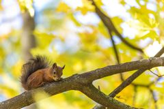 Ekorresammanträdet på filialen av ett träd i parkera eller i skogen i den varma och soliga höstdagen royaltyfri bild