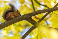 Ekorresammanträdet på filialen av ett träd i parkera eller i skogen i den varma och soliga höstdagen royaltyfria bilder
