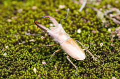Ekoxar (Lucanidae) Arkivbilder