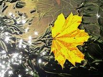 Ekranowy skutek Kolorowy łamający liść od klonowego drzewa na bazaltów kamieniach w zamazanej wodzie halna rzeka Piękno sceneria  Zdjęcie Royalty Free