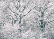 Ekskog som täckas med frost Royaltyfri Fotografi