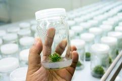 Eksperyment rośliny tkanki kultura zdjęcie stock