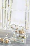Eksperyment z kukurydzą na bielu zdjęcia stock